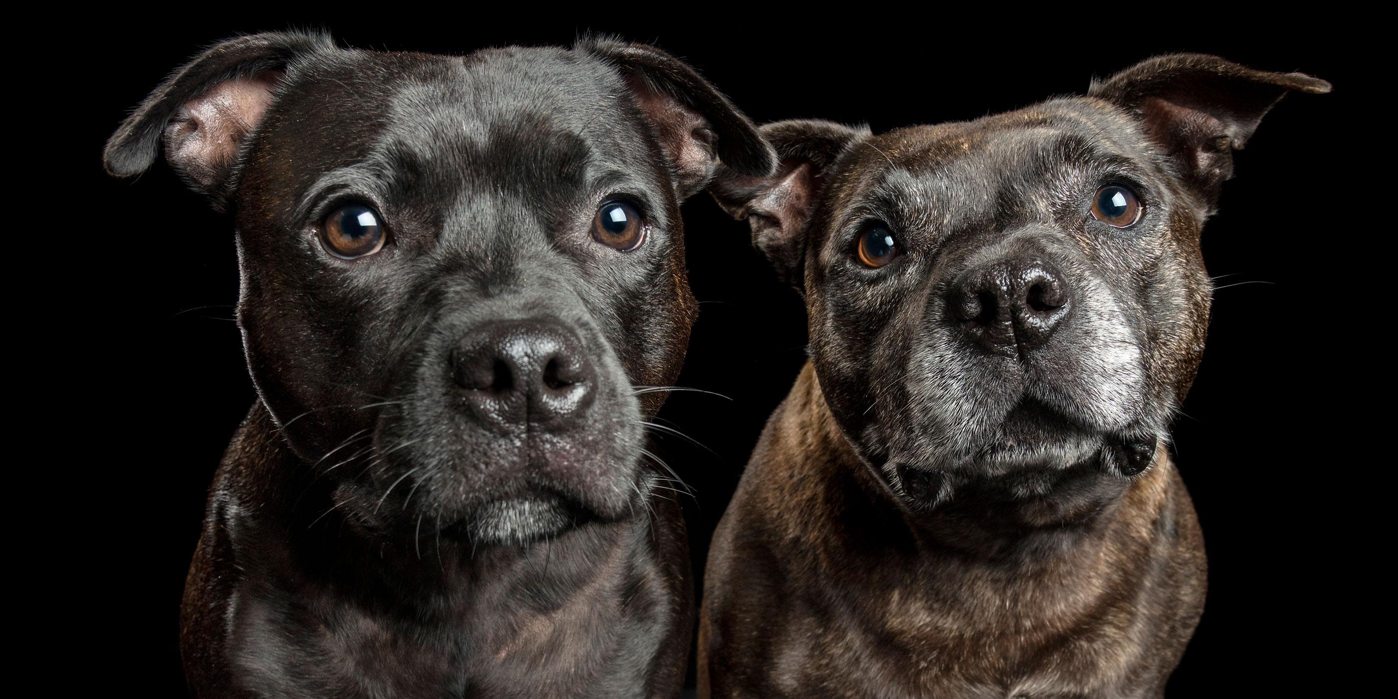 pair brindle and black staffy siblings