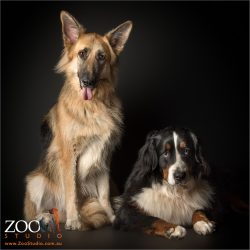 fur sisters german shepherd and bernese mountain dog