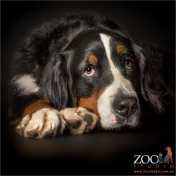 soulful bernese mountain dog with big paws