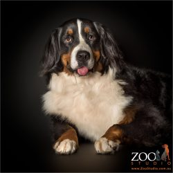 bernese mountain dog with tongue out