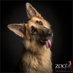 head tilt german shepherd