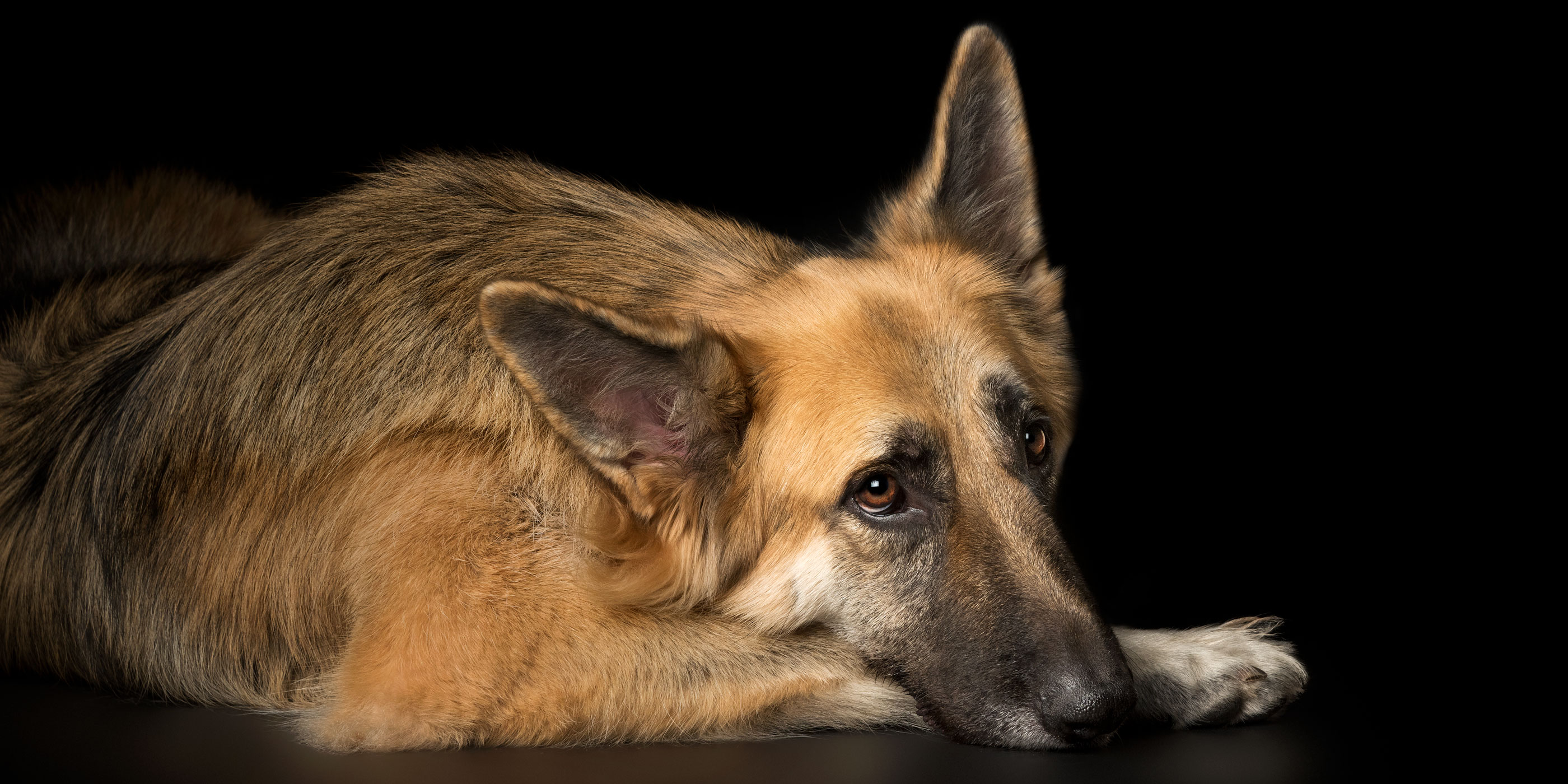 german shepherd head resting on paw