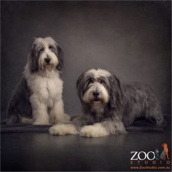 pair of bearded collies sitting and lying