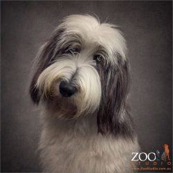 irresistible look on face bearded collie