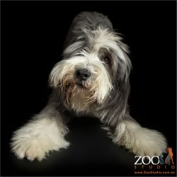 taking a bow bearded collie