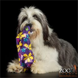 unwrapping a gift bearded collie