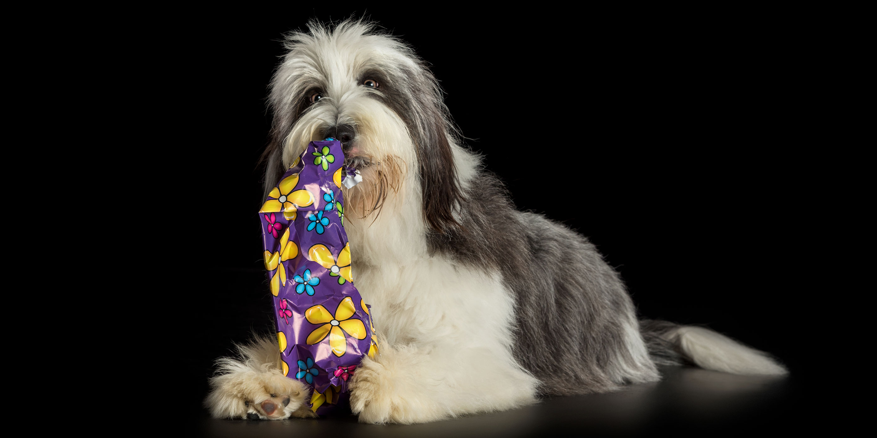 bearded collie chewing gift wrap