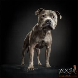 standing and alert english staffy