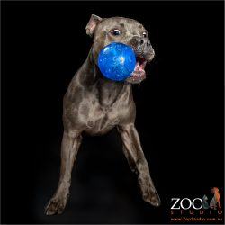 catching blue ball in mouth english staffy