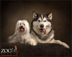 big smiles maltese and malamute
