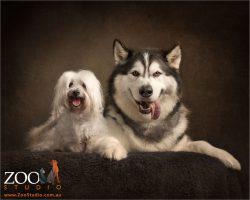 big smiles maltese and malamute