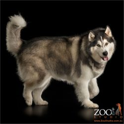 walking fluffy malamute