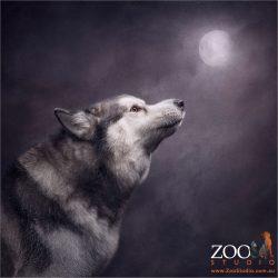 malamute howling at moon