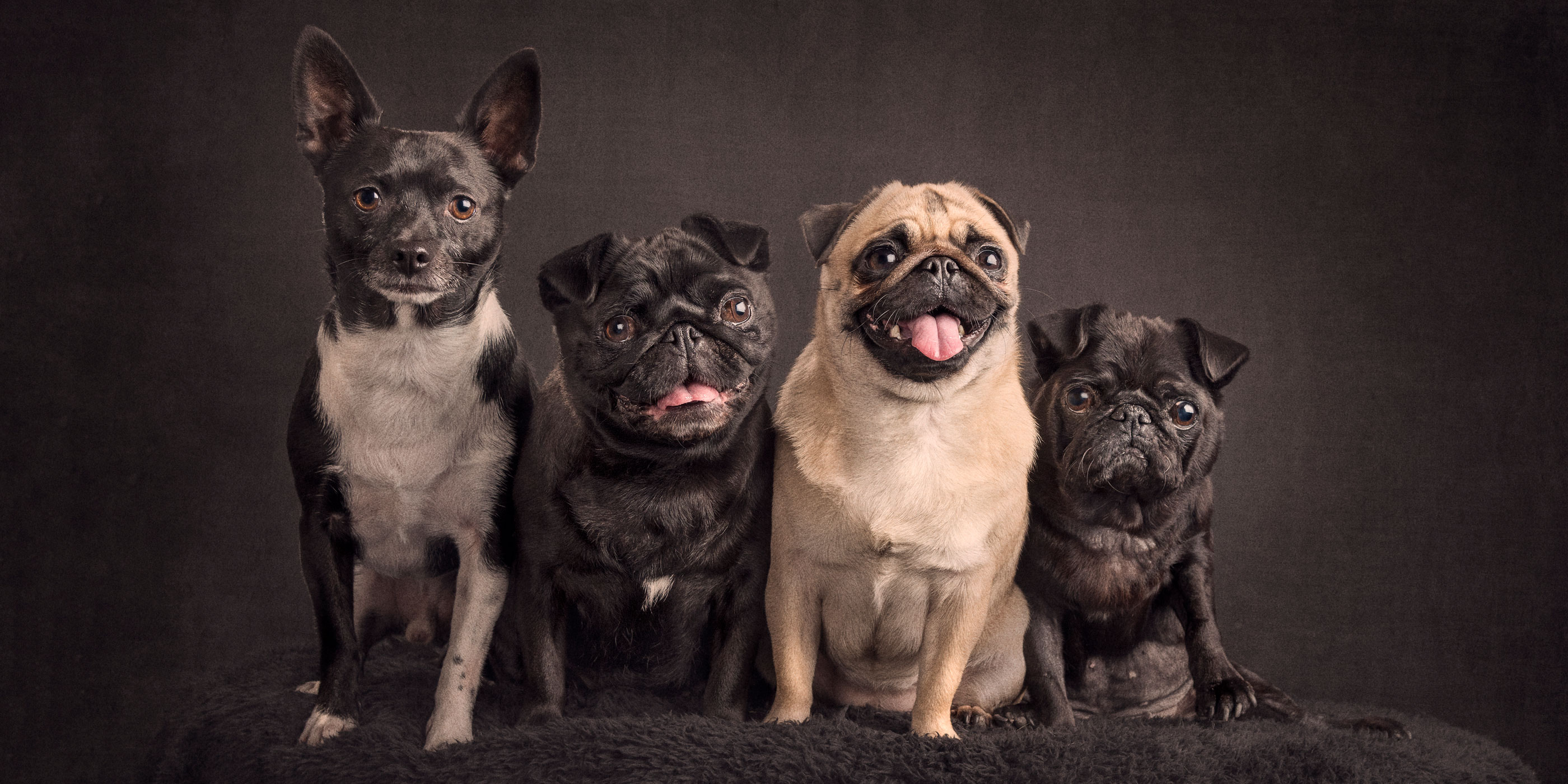 four sitting together chihuahua fox terrier cross plus three pugs