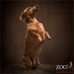dachshund impersonating a meerkat