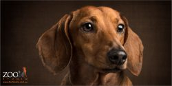 soulful faced tan dachshund