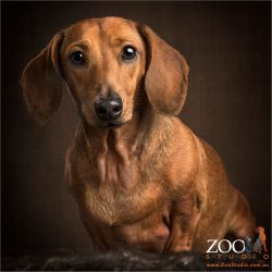 sitting quietly tan dachshund