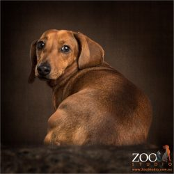 over the shoulder look tan dachshund