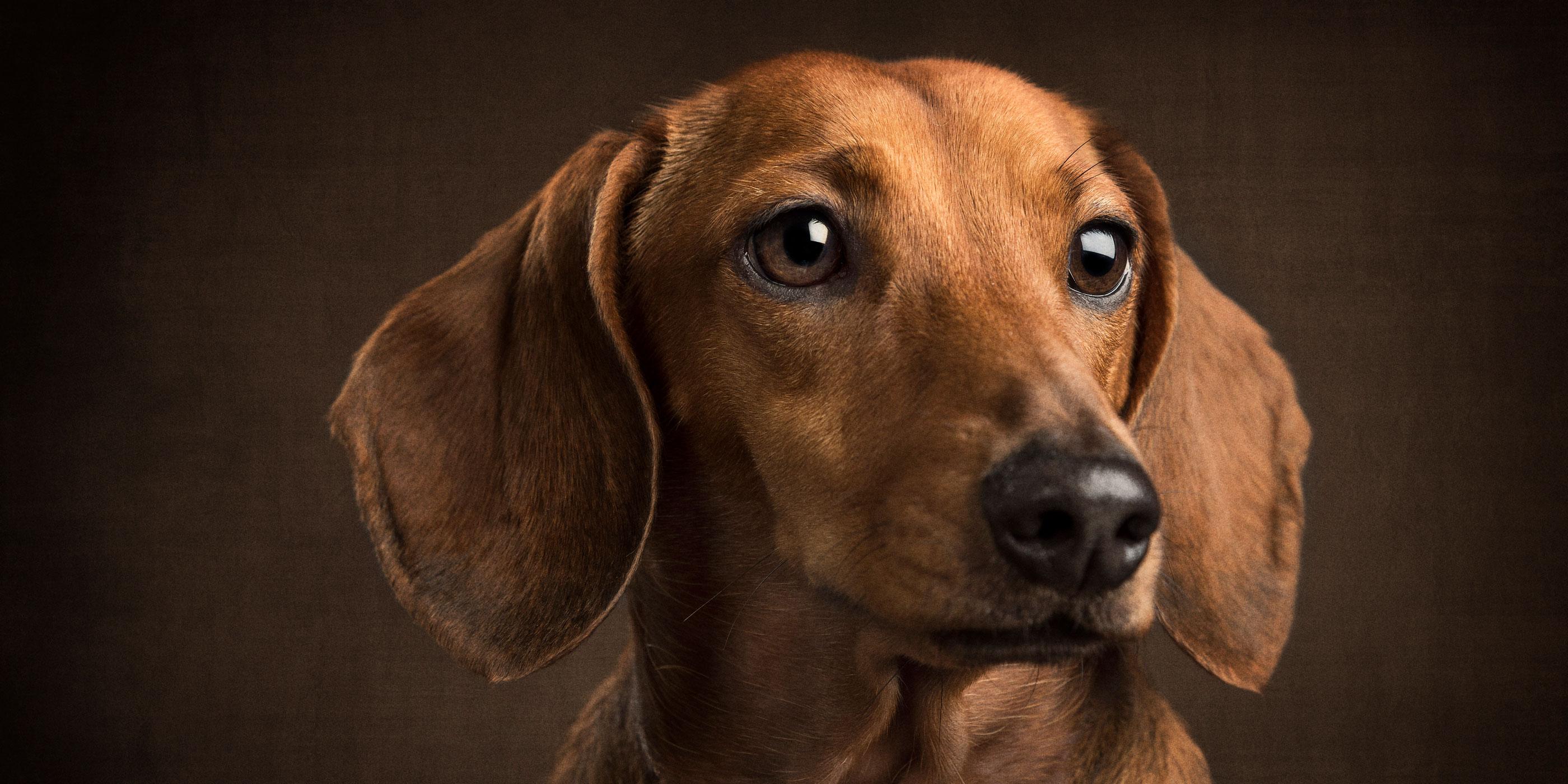 pretty angelic tan dachshund