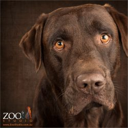 golden eyed chocolate labrador