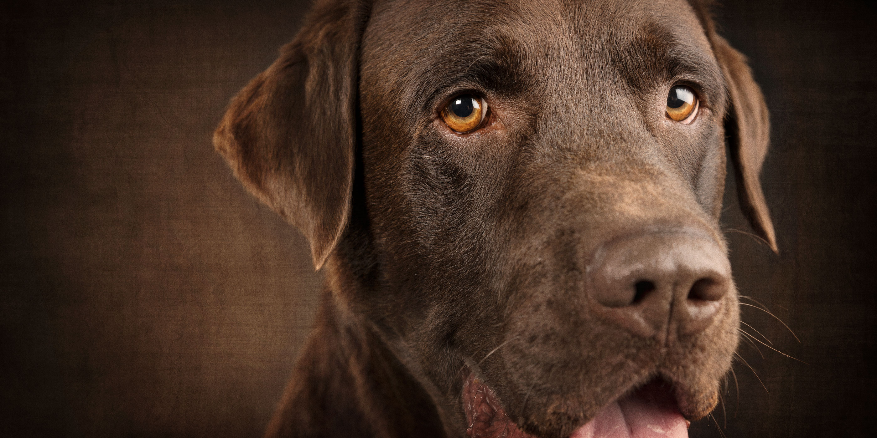 smiling sweetly full face chocolate labrador