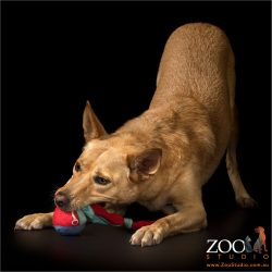 chew toy fun gold kelpie