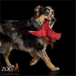 running with red toy australian shepherd