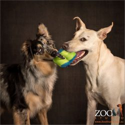 tug of war australian shepherd with kelpie cross