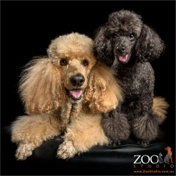 apricot standard and black toy poodles cuddling
