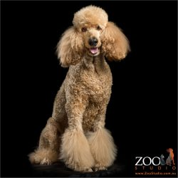 fluffy pawed apricot standard poodle