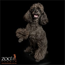 black toy poodle high five