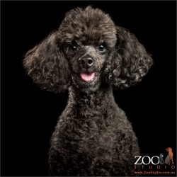 smiling faced black toy poodle