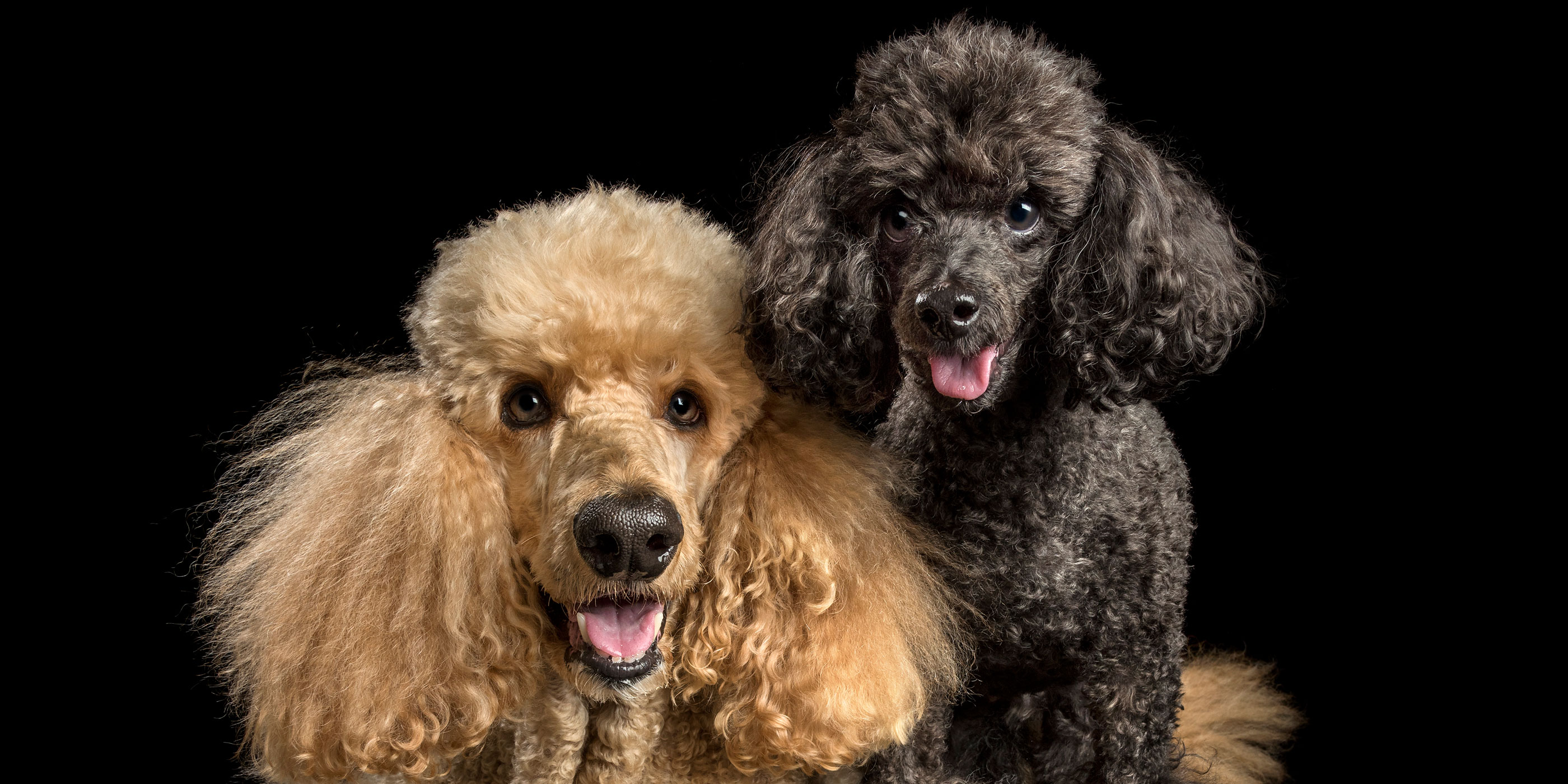 smiling pair of poodles apricot and black