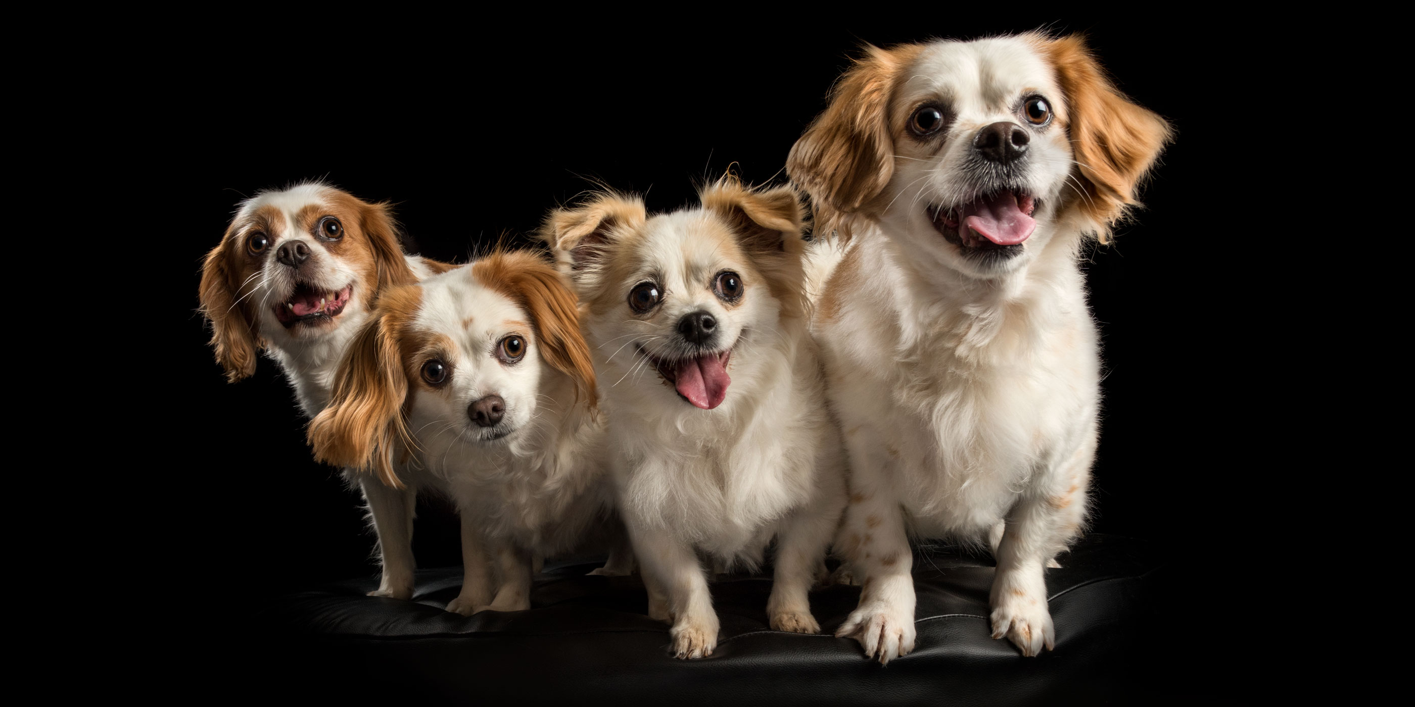 smiling family portrait cavvy and shih tzu crosses