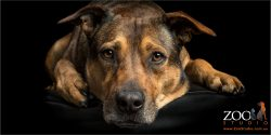 soulful faced rhodesian ridgeback cross