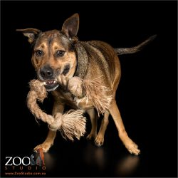 rohdesian ridgeback cross with rope toy in mouth