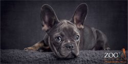 blue and tri-coloured french bulldog puppy