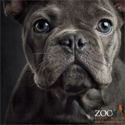 close up blue eyed french bulldog pup