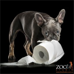 guilty looking french bulldog pup stealing roll of toilet paper