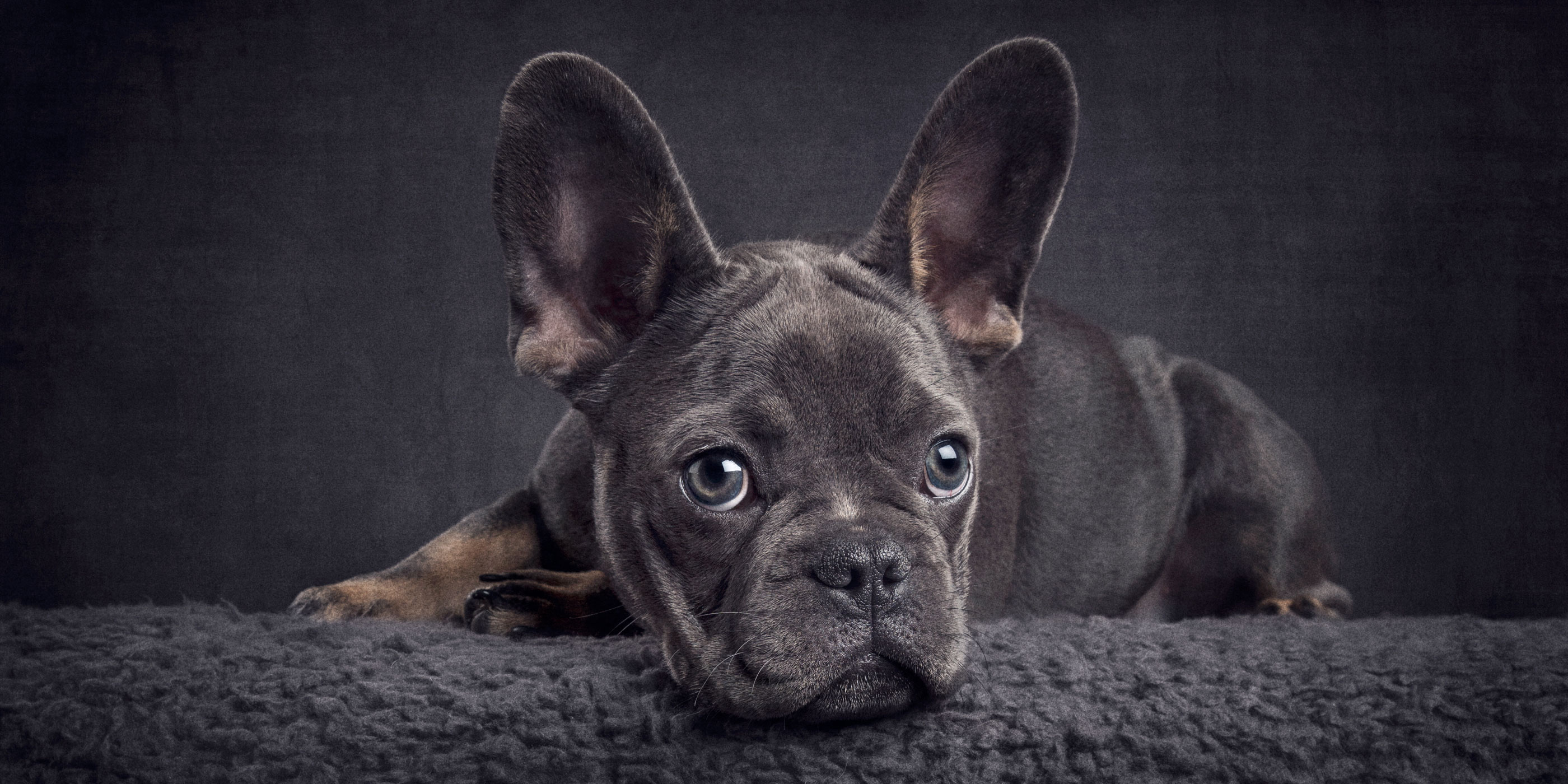 large eared blue french bulldog pup