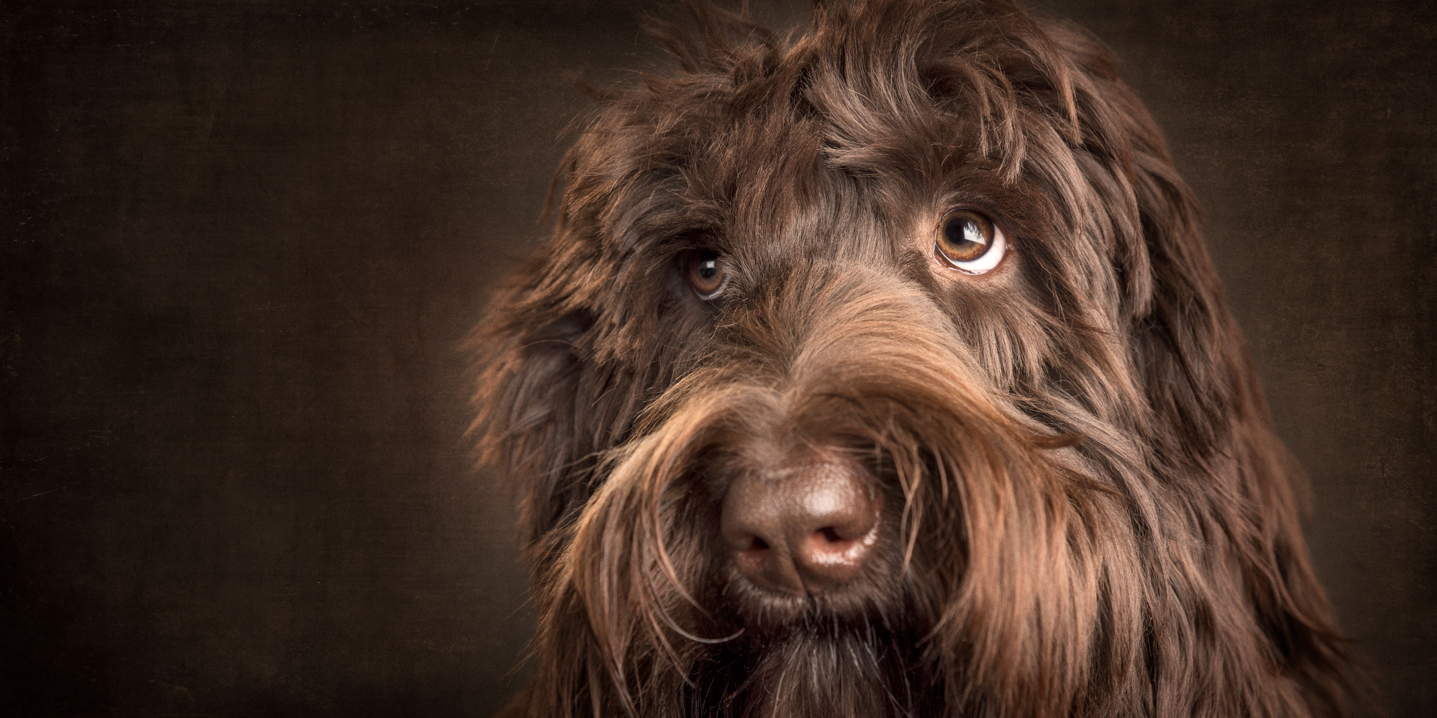 appealing face chocolate labradoodle