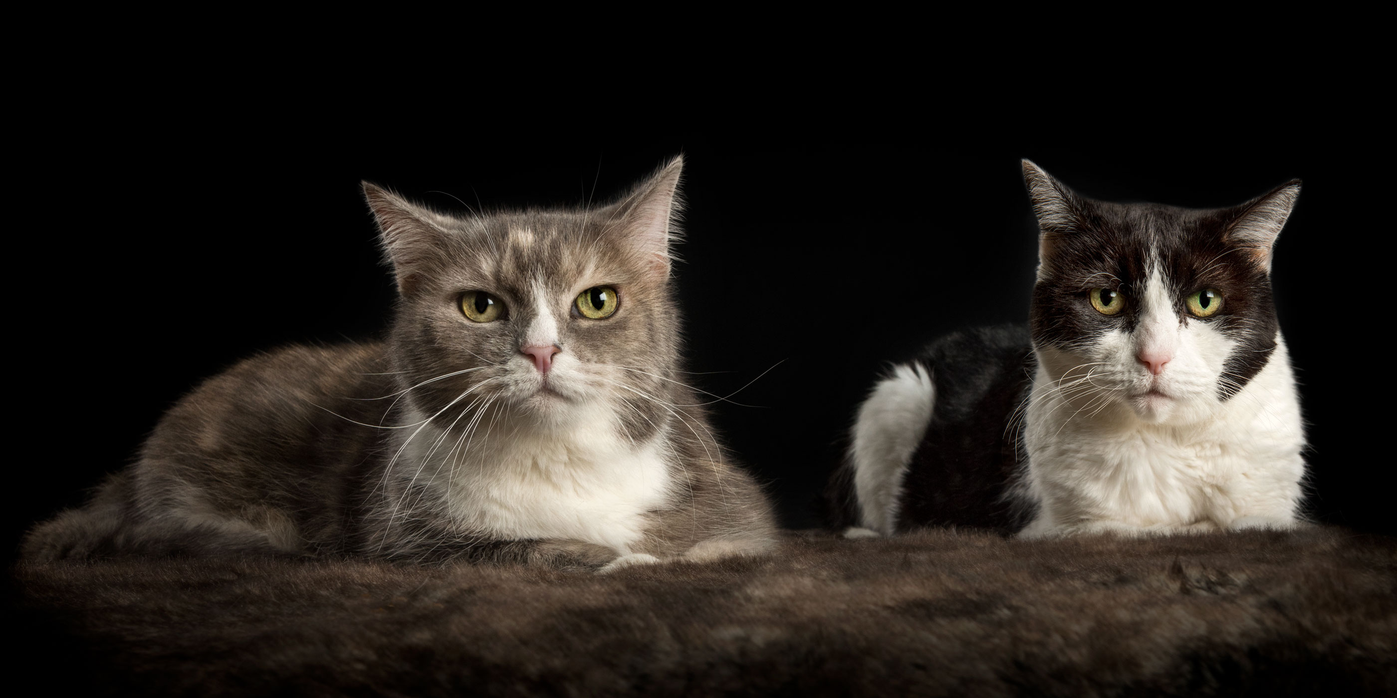 pair of domestic cats black and white and tortoiseshell