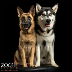 sitting close pair german shepherd and husky malamute