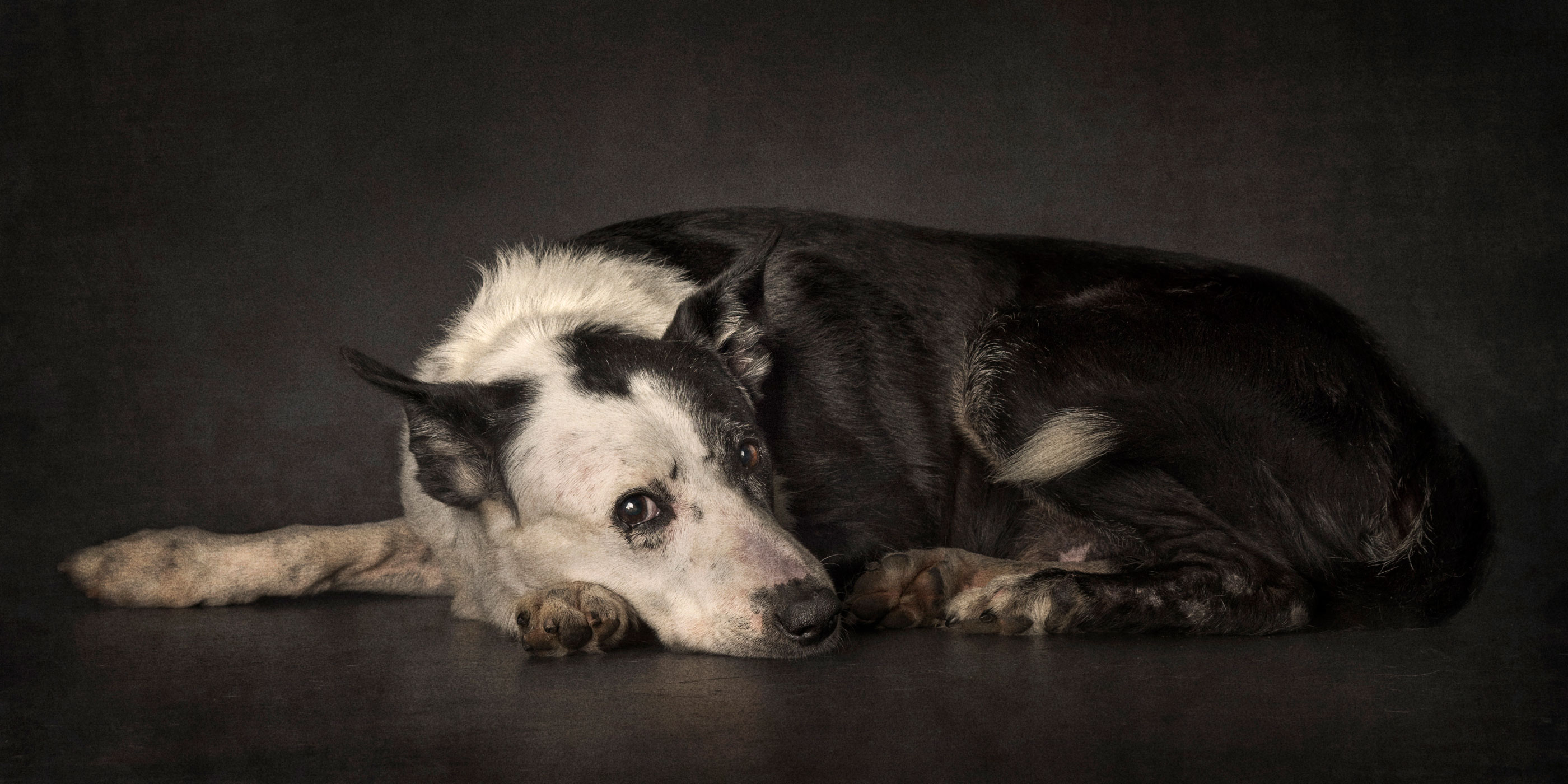resting curled up border collie