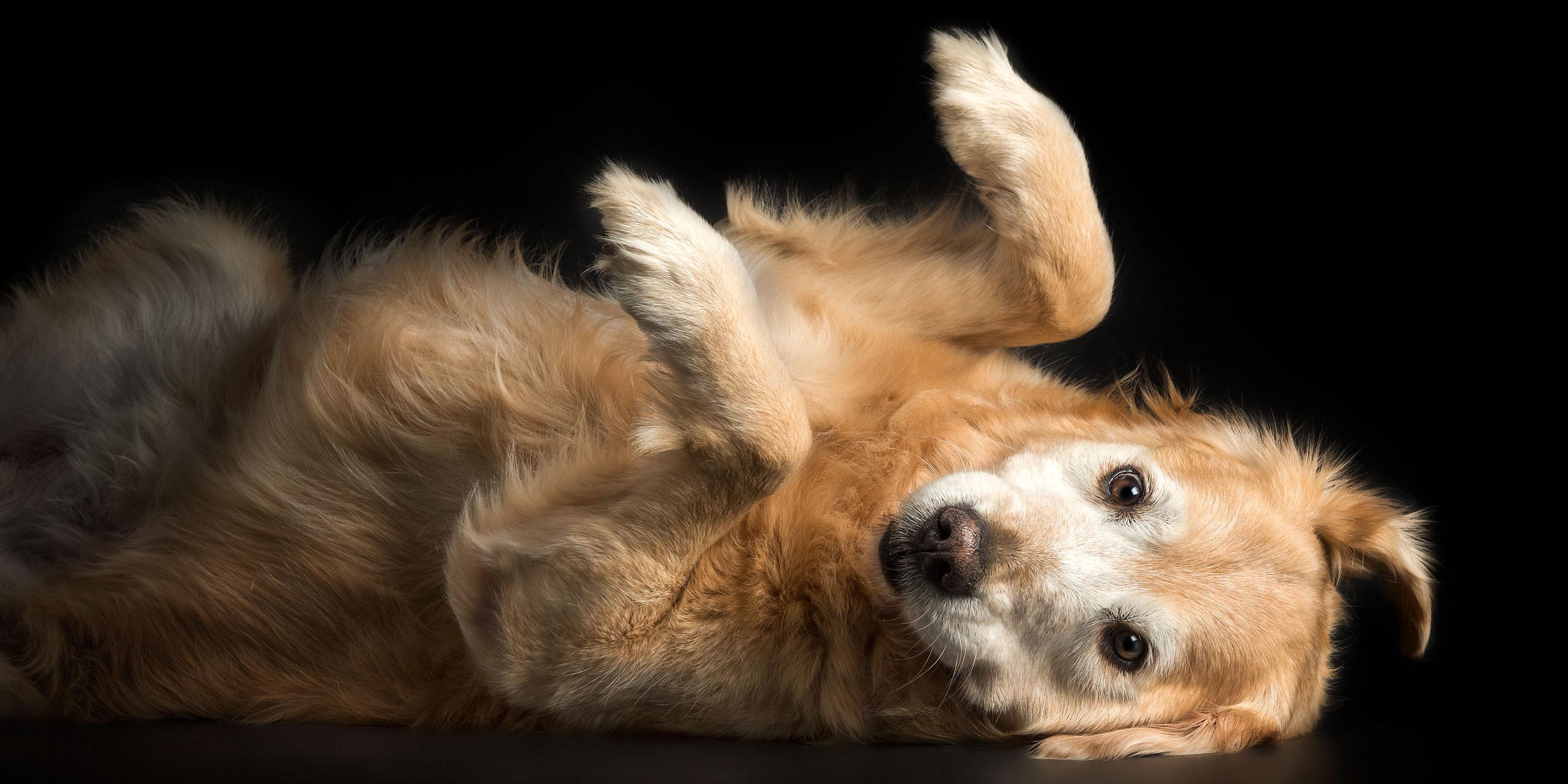 upside down golden retriever