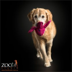 golden retriever with pink octopus in mouth