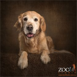 sweet faced golden retriever in sphinx pose
