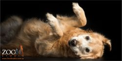 golden retriever in cockroach pose