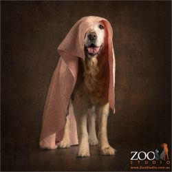 golden retriever modeliing pink towel