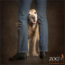 golden retriever peeking through human legs